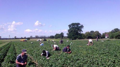 Сезонна робота в Польщі по збору врожаю